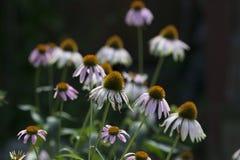 Seizoenen Flora Mid Summer Season Purple Coneflower stock afbeeldingen