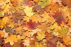 Seizoengebonden de herfstachtergrond van kleurrijke bladeren Royalty-vrije Stock Afbeeldingen