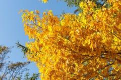 Seizoengebonden Gele en Groene Autum-Bomen - Blauwe Hemel op Achtergrond - Hoekig Weergeven van Bodem tot de Bovenkant stock afbeeldingen
