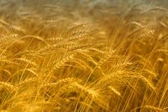Seizoengebonden oogst van tarwe op de gebieden Stock Foto