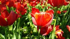 Seizoengebonden openlucht de tuinbloesem tulpen mooie slow-motion van de achtergrondparklente stock footage