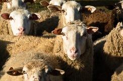 Seja carneiros meu amigo Foto de Stock