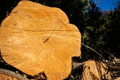 Sekcja bagażnika drzewny właśnie cutted fotografia royalty free