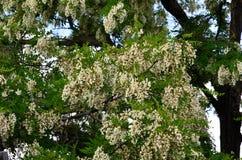 Sekcja korona biała akacja z gęsto rosnąć kwiatostany zdjęcia stock