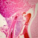 Sekcja mikroskopijny cynaderki o obraz royalty free