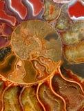 Sekcja przez barwionego amonita zdjęcie stock