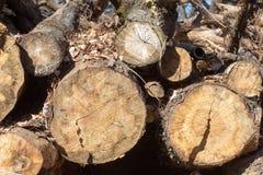 Sekcja stary drzewo zdjęcie royalty free