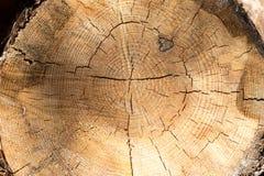 Sekcja stary drzewo obraz stock