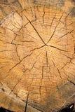 Sekcja stary drzewo fotografia stock