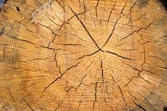 Sekcja stary drzewo zdjęcia stock