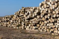 Sekcje sosny i świerczyny bele Powalać drzewa Zdjęcie Stock