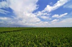 Sekinchan Paddy Field Arkivbilder