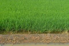 Sekinchan Padi Field Photo stock