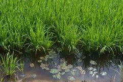 Sekinchan Padi Field Image stock