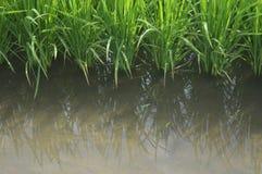 Sekinchan Padi Field Photo libre de droits