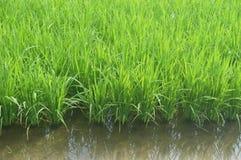 Sekinchan Padi Field Image libre de droits