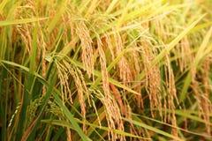Sekinchan-Reis archiviert Stockfoto