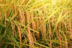Sekinchan-Reis archiviert Lizenzfreie Stockbilder