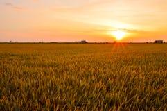 Sekinchang de oro del campo de arroz Fotografía de archivo