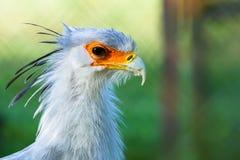 Sekretärvogel Stockfotos