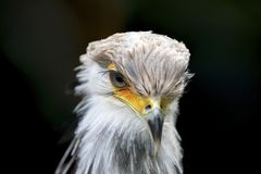 Sekretärvogel afrikanischer Raubvogel stockfotos