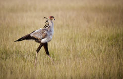 Sekretärvogel, der durch Wiese geht Stockbilder