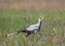 Sekretärvogel im Gras Stockfoto