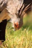 Sekretärvogel, welche nach Nahrung sucht Lizenzfreie Stockfotografie