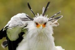 Sekret?r Bird, sagittarius serpentarius, Portr?t des netten grauen Raubvogels mit orange Gesicht, Kenia, Afrika Szene der wild le lizenzfreies stockbild