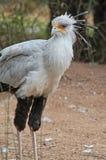 Sekretarka ptak Obraz Stock