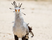 Sekretarka ptak Obraz Royalty Free