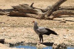 Sekretarka ptak Zdjęcie Stock