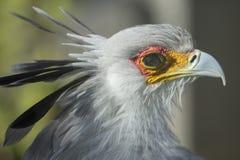 Sekretarka ptak - boczny widok Fotografia Stock