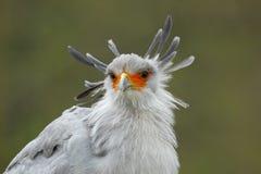 Sekretarka ptak, Sagittarius serpentarius, portret ładny popielaty ptak zdobycz z pomarańczową twarzą, Botswana, Afryka Fotografia Royalty Free