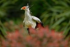 Sekretarka ptak, Sagittarius serpentarius, portret ładny popielaty ptak zdobycz z pomarańczową twarzą, Botswana, Afryka Przyrody  Fotografia Royalty Free