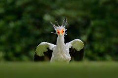 Sekretarka ptak, Sagittarius serpentarius, portret ładny popielaty ptak zdobycz z pomarańczową twarzą, Kenja, Afryka Przyrody sce Zdjęcia Royalty Free