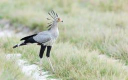 Sekretarka ptak, Savuti, Botswana Zdjęcia Stock