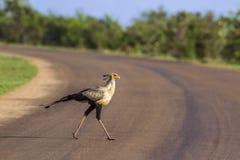 Sekretarka ptak w Kruger parku narodowym, Południowa Afryka Fotografia Royalty Free