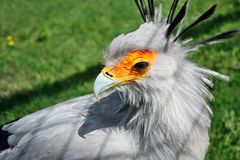Sekreterarefågel Royaltyfri Fotografi