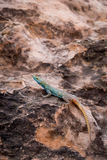 Sekukhune Flat Lizard Platysaurus orientalis on Stone, South Africa Stock Photography