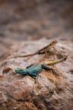 Sekukhune Płaska jaszczurka i Afrykański Pasiasty Skink na kamieniu, Południowa Afryka Zdjęcie Stock