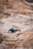 Sekukhune sänker ödlaPlatysaurus orientalis på stenen, Sydafrika Arkivbild