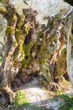 Sekulära olivträd i regionen av Umbria Italy arkivfoto
