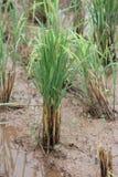 Sekundär tillväxt av ris Arkivbild