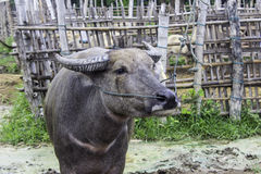 Sekundärmarkt der Büffel und die Kühe Thailand Stockfotografie