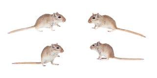 Sekwencja cztery fotografii z śmiesznym gergil Obrazy Royalty Free