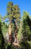 sekwoi drzewo Obrazy Stock