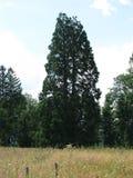 Sekwoi drzewo Zdjęcia Stock