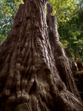 Sekwoi drzewo, ojciec las Obraz Stock