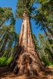 Sekwoi drzewo w Calaveras drzew stanu Dużym parku Zdjęcie Stock